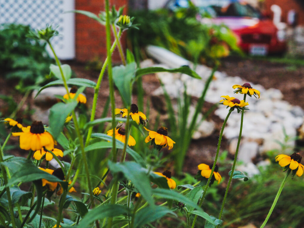 yellow plants peeking out from a completed rain garden