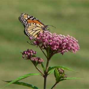 Swamp milkweed purple flower with monarch butterfly perched on top