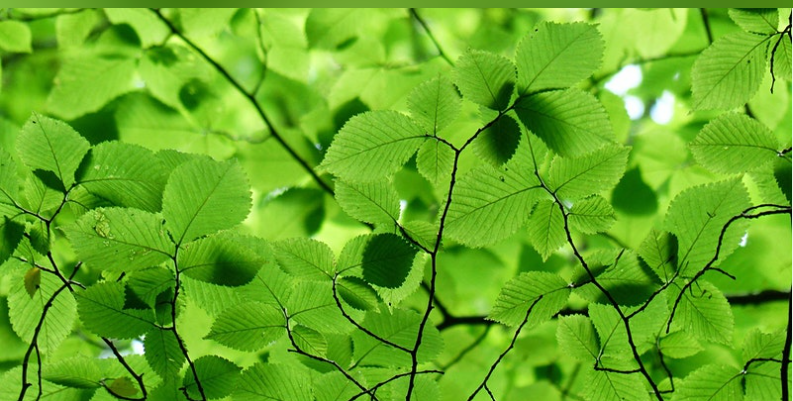 leaves from a tree