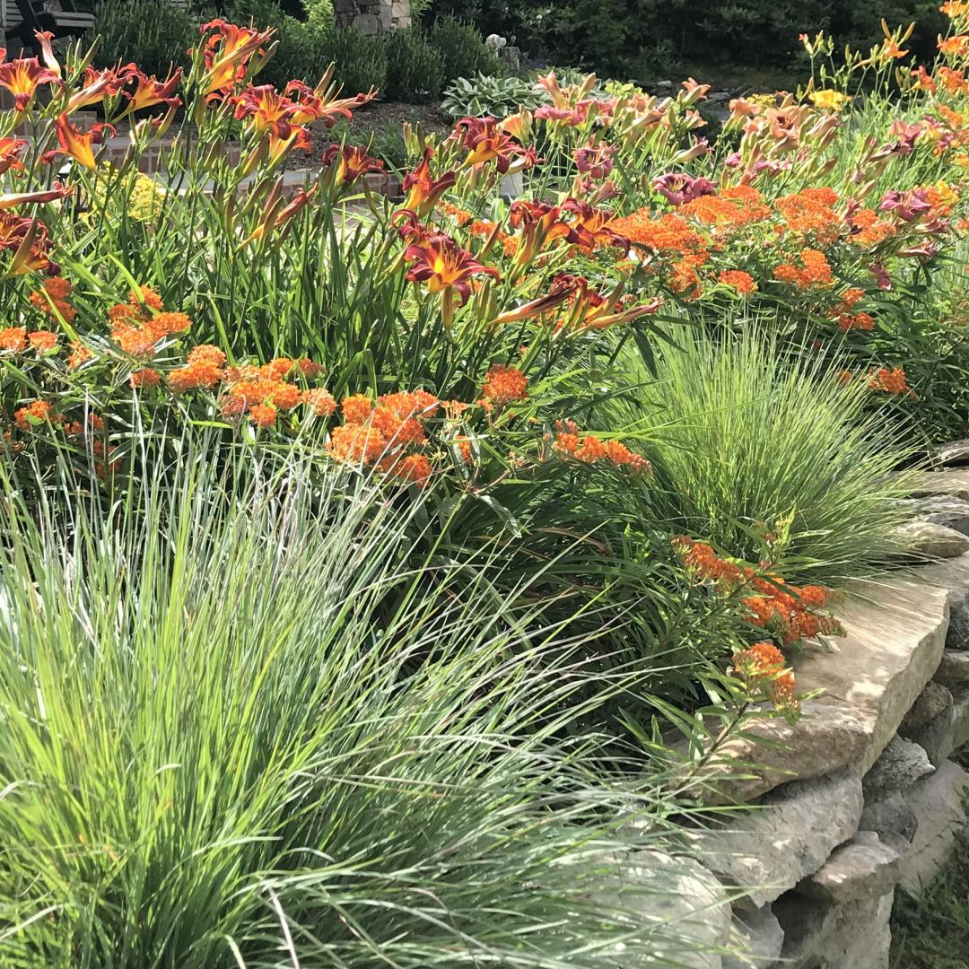 Orange flowers in bloom among grass in a garden.