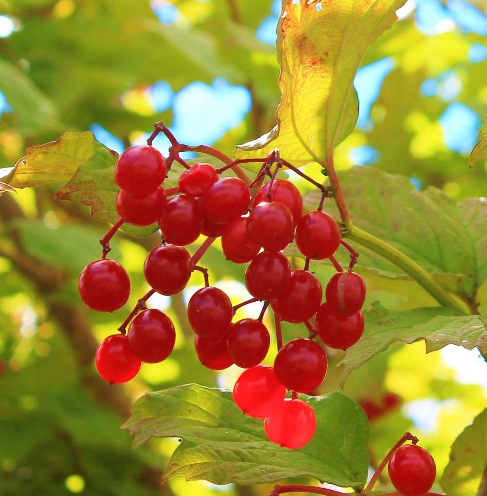 red fruit of a highbush cranberry