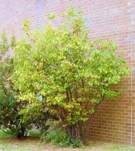 Arrowwood shrub against a brick wall