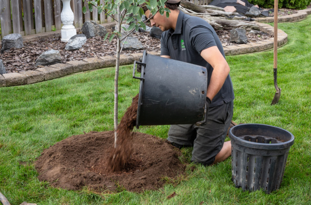 A man pours soil onto a newly planted tree